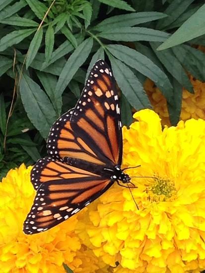 Beautiful monarch at A garden  photo