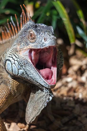 Iguana with Mouth Open photo
