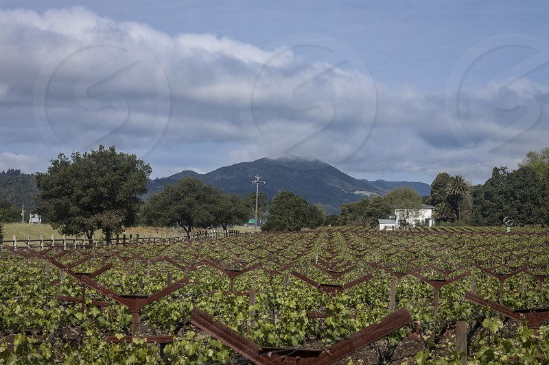 Grape vines Napa Valley Stags Leap district photo