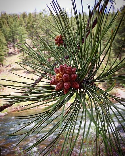Sadelia nature Colorado pikes peak pine tree photo