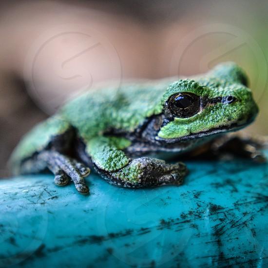 Frog on hose  photo