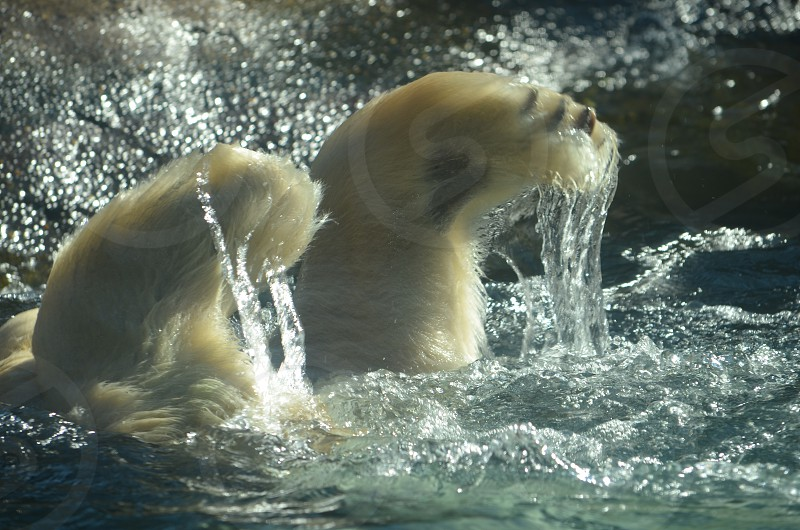 Polar Bear feet going into water photo