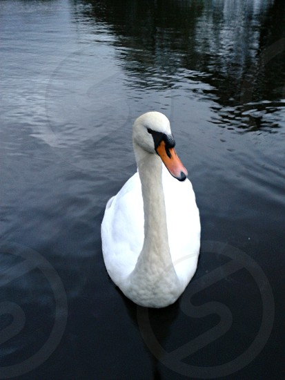 swan tranquil swim white park pond peace beauty photo