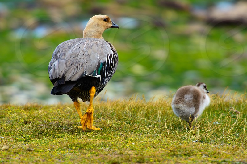 Ducks on Stanley Faulklands. photo