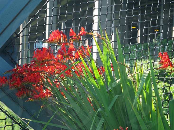 Red flowers against cyclone fencing photo