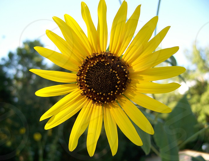 Close up of a Sunflower in full bloom photo