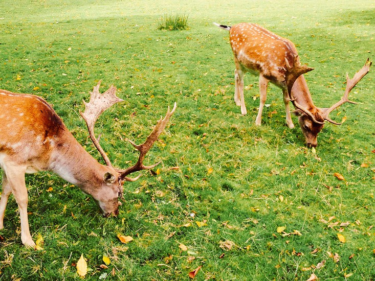 two brown deers standing on green grasses photo