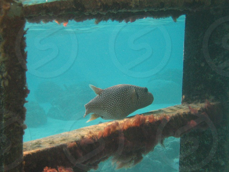 Puffer Fish underwater ladder photo