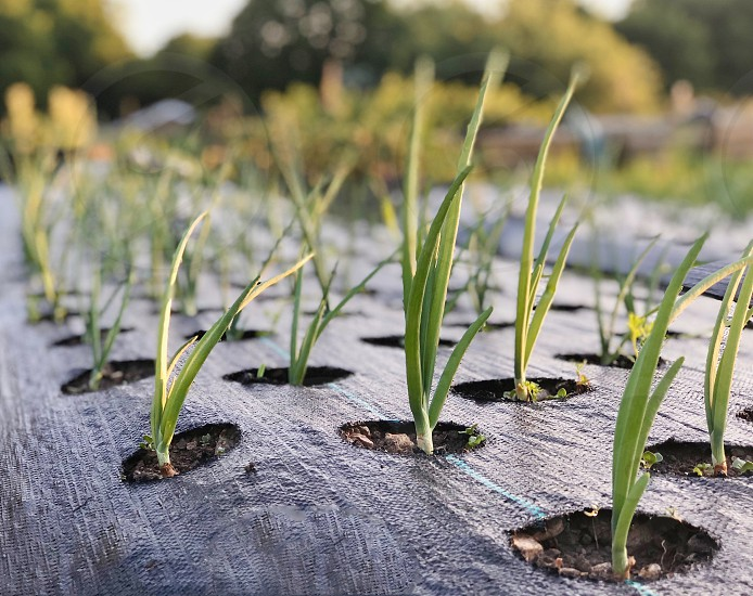 Spring Onions growing in a garden photo