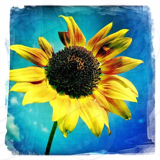 sun field sunflower yellow blue photo