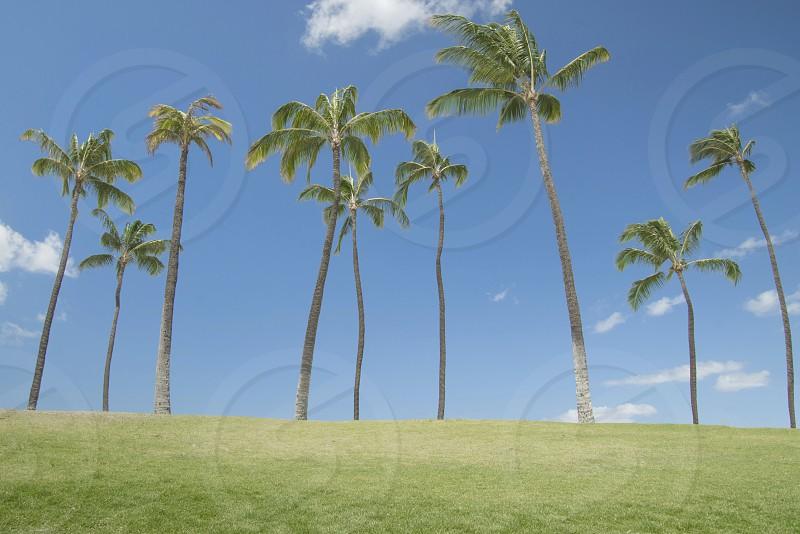 Palm Trees Oahu photo