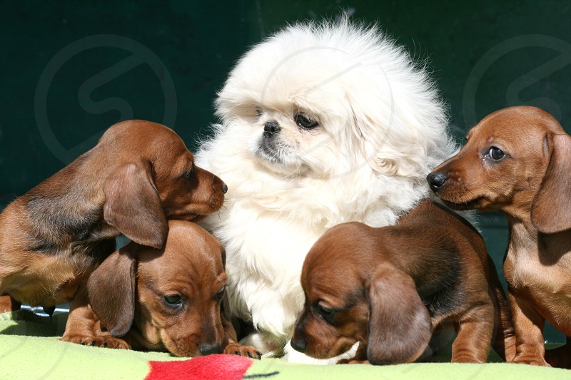 white pekingese puppy surrounded by four dachshund puppies photo