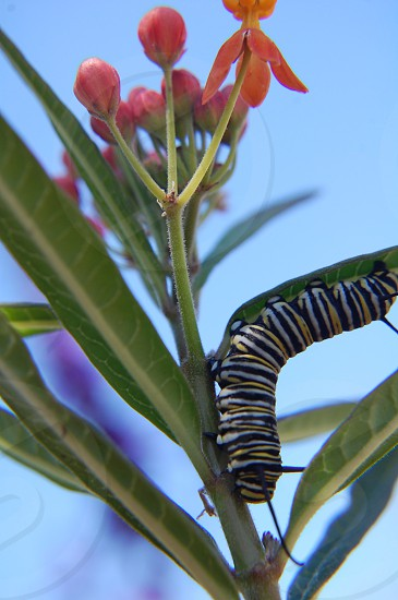 Spring caterpillar monarch milkweed nature outdoors bug circle of life leaves photo
