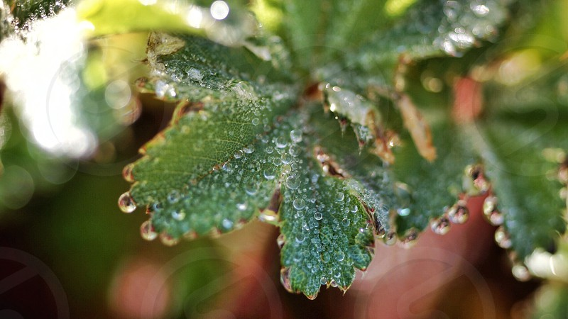 Green leaf morning morning dew photo
