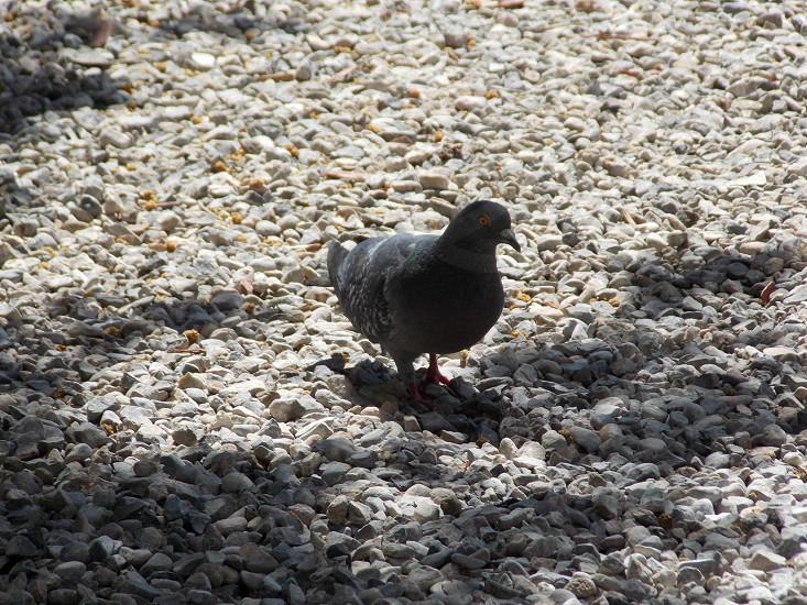 Pigeon gray stones photo