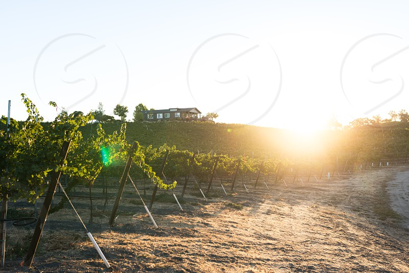 Sunrise at a wine vineyard.  photo