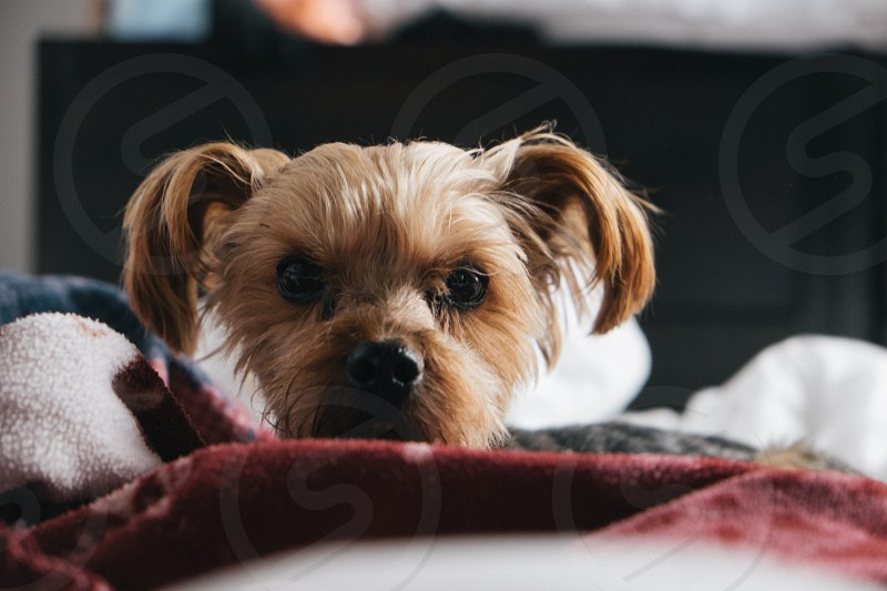Yorkie laying in bed staring at the camera. Sun lit with a red blanket. photo