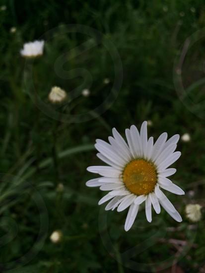 ノースポール(Swamp chrysanthemum) photo
