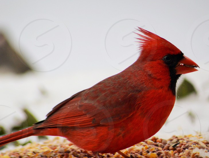 red small beaked small bird photo