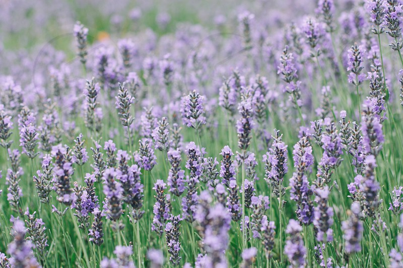 blue lavender flower field photo