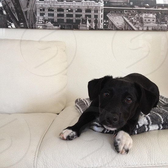 black and white short haired small dog photo