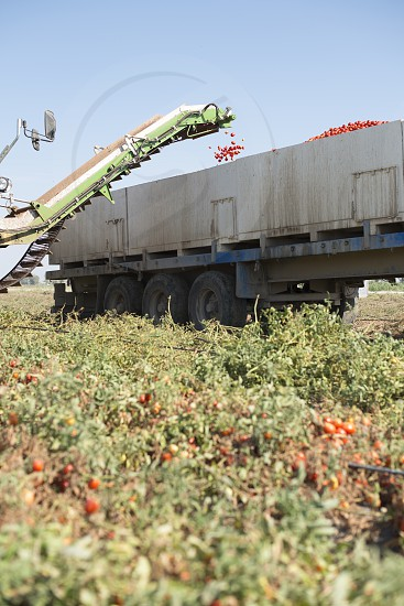 Harvester collects tomatoes in trailer photo