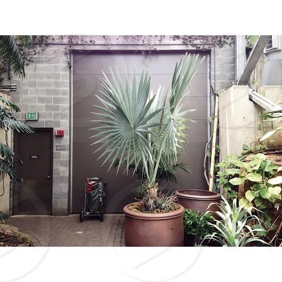 fan palm tree photo