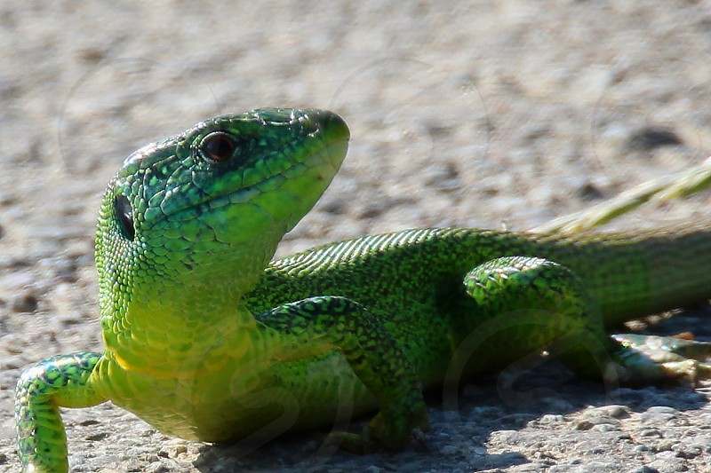spring colors green lizard photo