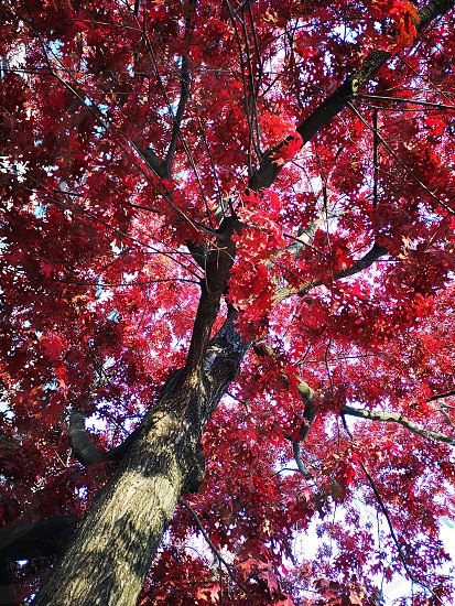 Autumn red leaves in the city photo
