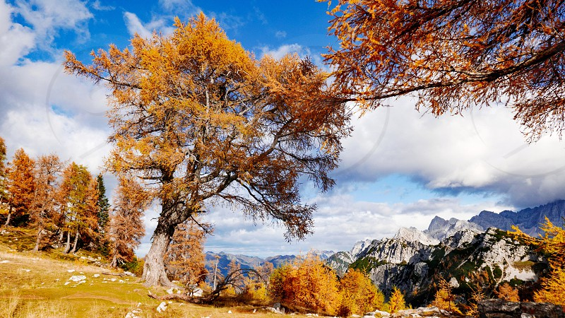 Yellow and orange terrain in the mountains. Autumn fall colors of larch trees. photo