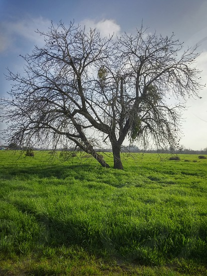 beautiful tree in a field of green grass photo