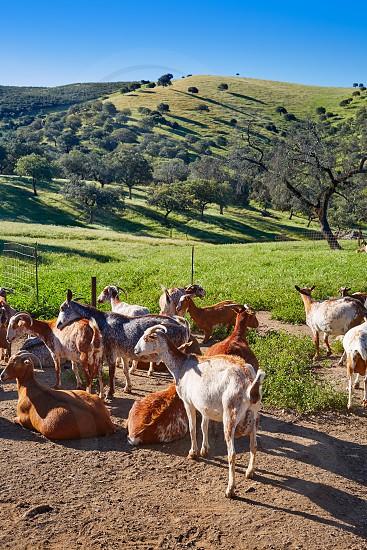 Via de la Plata way goats by Sierra Norte Seville in Spain photo