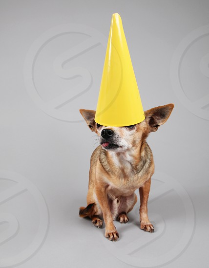 dog canine pup puppy pooch pure breed purebred pure breed pet mutt animal mammal best friend companion doggy furry small tiny  man's best friend pal buddy chihuahua hat party birthday tongue isolated gray celebration photo