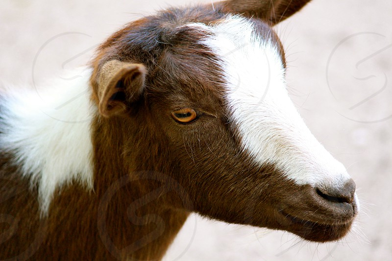 brown and white goat photo