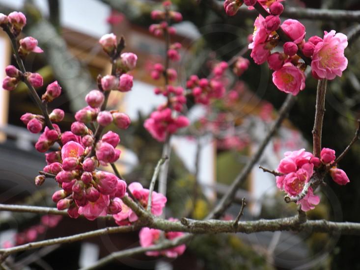 pink cherry blossom tree photo