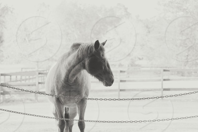grayscale photography of black horse beside silver chain link photo