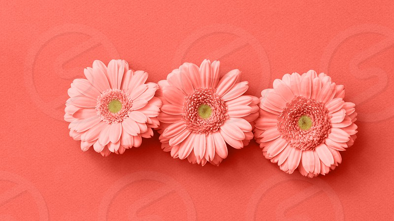 Post card with gerbera flower in a color of the year 2019 Living Coral Pantone on a same color background. The figure from the game Tetris. Minimal flower composition. Flat lay. photo