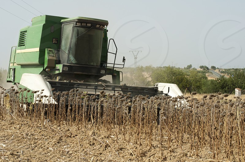 Harvester reaps sunflowers. photo