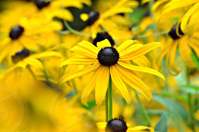 yellow daisies on macro photography photo