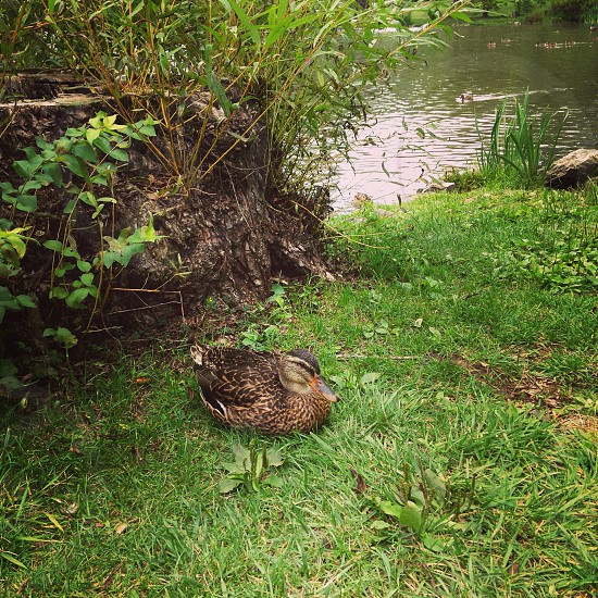 Duck laying duck duck pond nature photo
