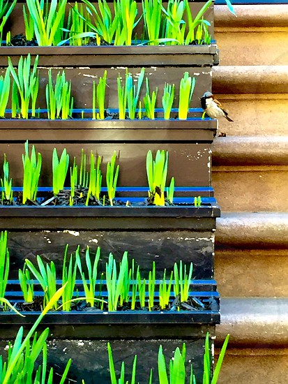 About to bloom in the West Village New York. photo