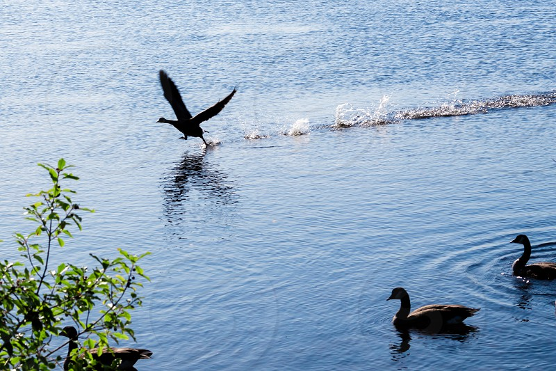 A Canada goose skims across the water's surface as it takes flight from a river with other geese in its flock watching. photo