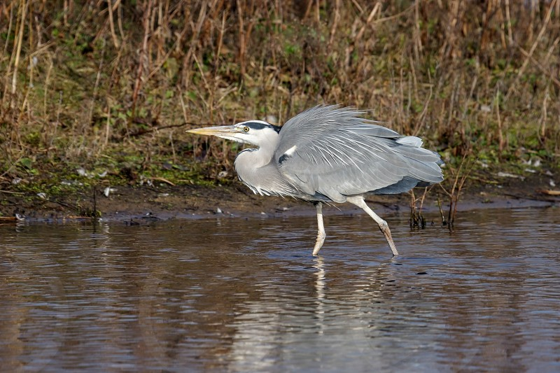 Grey Heron (Ardea cinerea) at the Water's Edge photo
