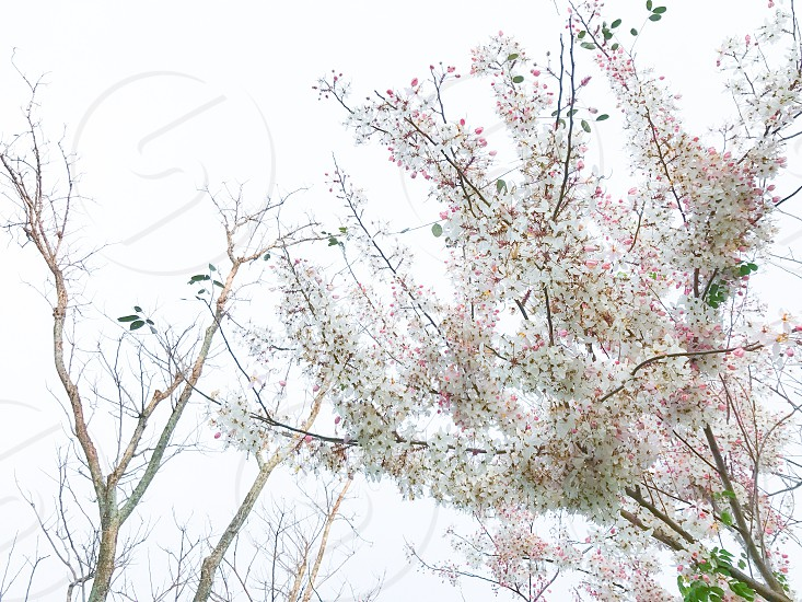 flower tree plant blossom blooming botany branch pink shower wishing Cassia bakeriana Craib white evergreen leaf petal fragrance garden outdoor park tropical spring summer autumn fall bunch flora season bright beauty photo