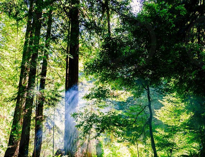 campfire smoke illuminate light beams through the redwoods  photo