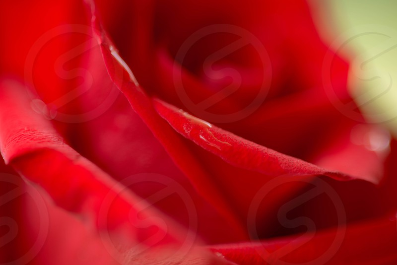 macro  red rose pedals close  photo