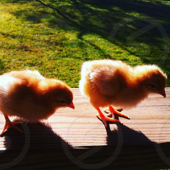 Spring chicks! photo