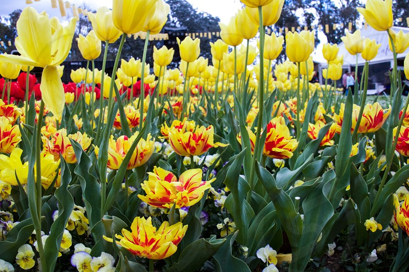 Flowers spring tulips blossom color colorful flowers field gardening nature inspiration bright photo