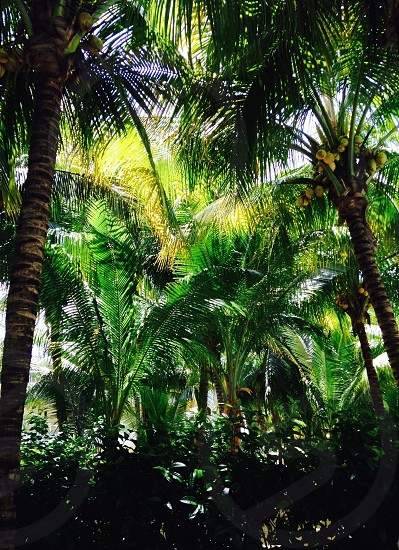 Palm tree Green photo