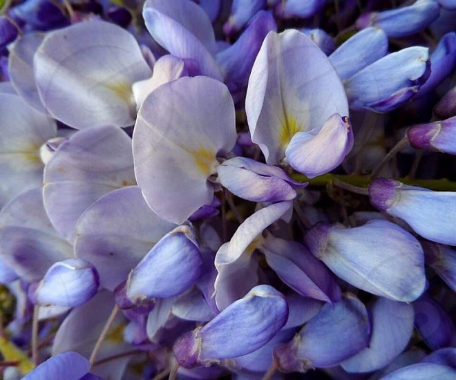 Purple Wysteria photo